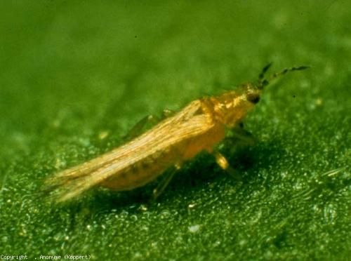 thrips insecte 2.jpg
